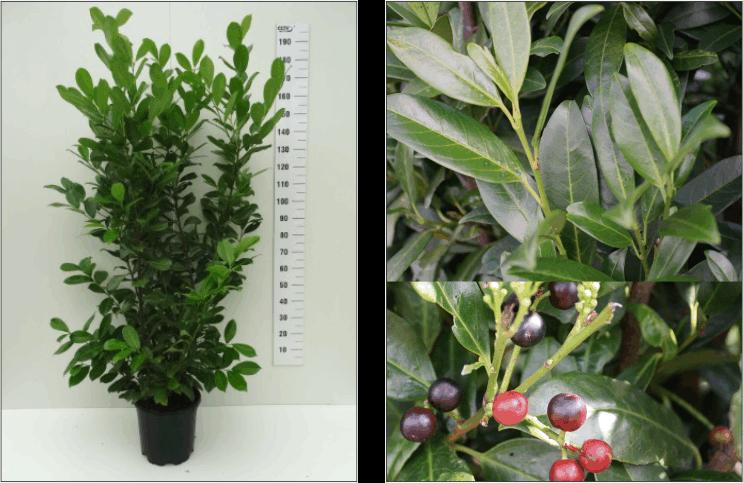 Kirschlorbeer Hecke Einzelpflanze