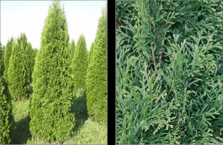 Thuja Smaragd Hecke Einzelpflanze