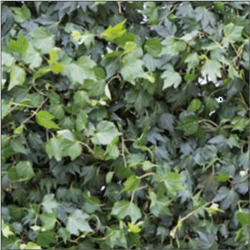 Efeuhecke - Green Ripple